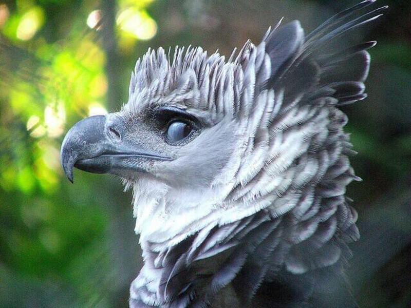 Южноамериканская гарпия интересное, природа, птицы