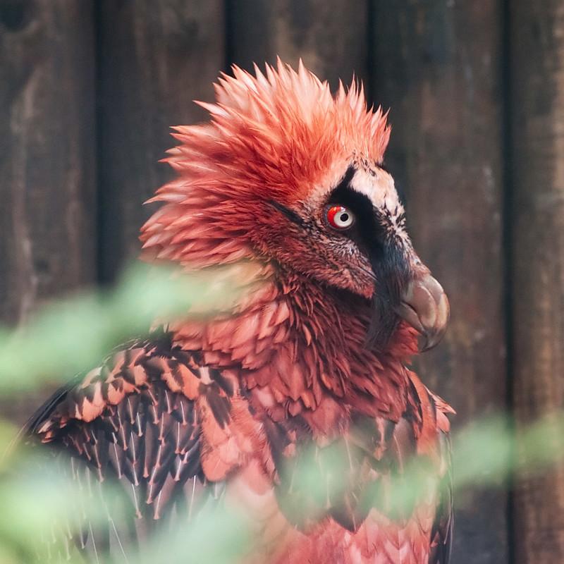 Бородач интересное, природа, птицы