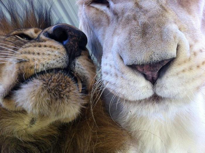 Спасённые от живодёра львы нашли свою любовь животные, львы, настоящая любовь, спасение животных
