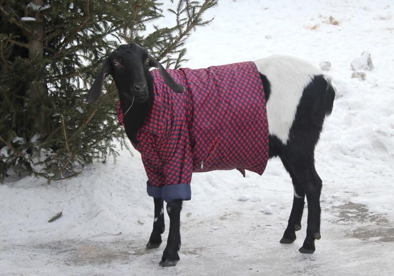 Не отстают от них и козы. Эти вообще в мире животных считаются настоящими модниками. животные, животные в одежде, конь в пальто