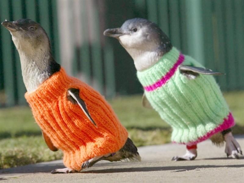 Милейшие пингвинчики чтобы не замёрзнуть надели свитера. животные, животные в одежде, конь в пальто