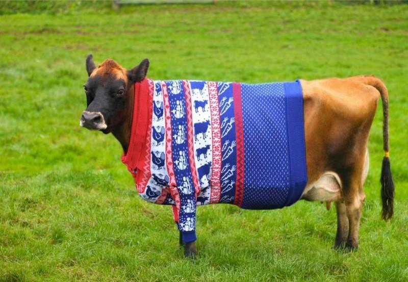 Рождественский свитер на бурёнке. животные, животные в одежде, конь в пальто
