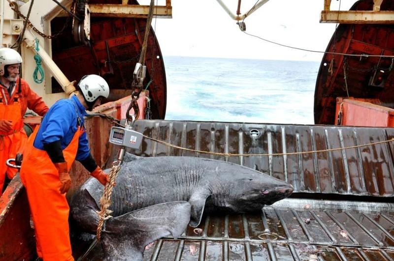 Открытие: гренландская акула - главный долгожитель среди позвоночных долгожители, животный мир, интересное, исследование, открытие