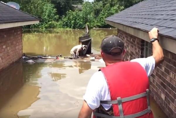 Они нашли двух питбулей, потерявших надежду выбраться из воды.  бедствие, луизиана, наводнение, спасатели, спасение животного