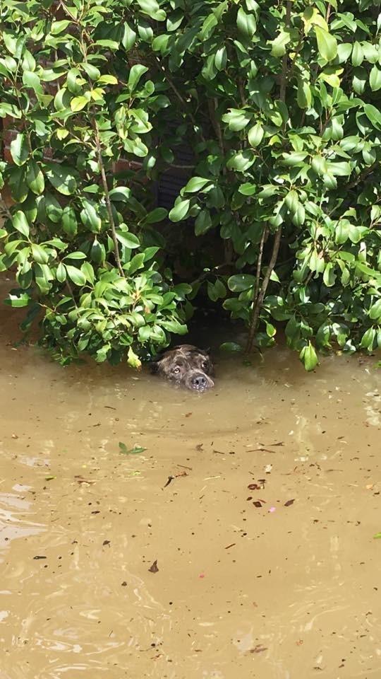 15 августа Джош Петит опубликовал в фейсбуке вот эту фотографию и написал: бедствие, луизиана, наводнение, спасатели, спасение животного