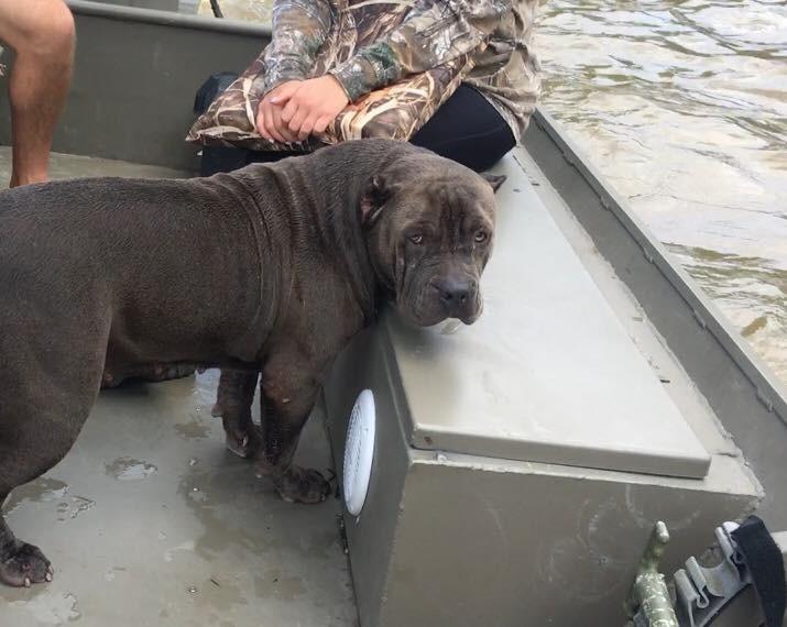 Запись быстро разошлась по фейсбуку и вскоре были найдены хозяева собаки, которую, как оказалось, зовут Сэди. бедствие, луизиана, наводнение, спасатели, спасение животного