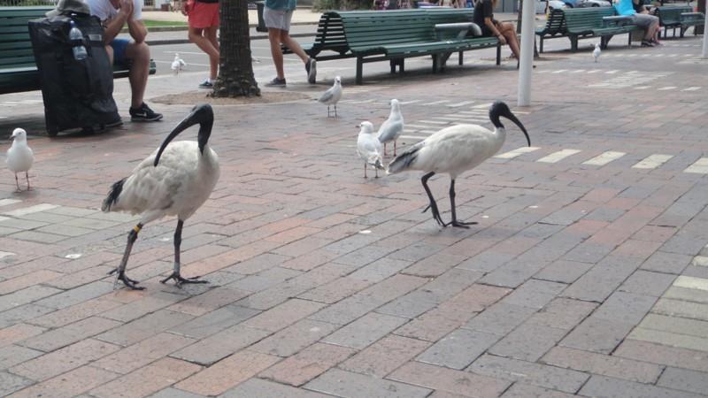 Впрочем, там попадаются и такие. голуби, животные, прикол, юмор