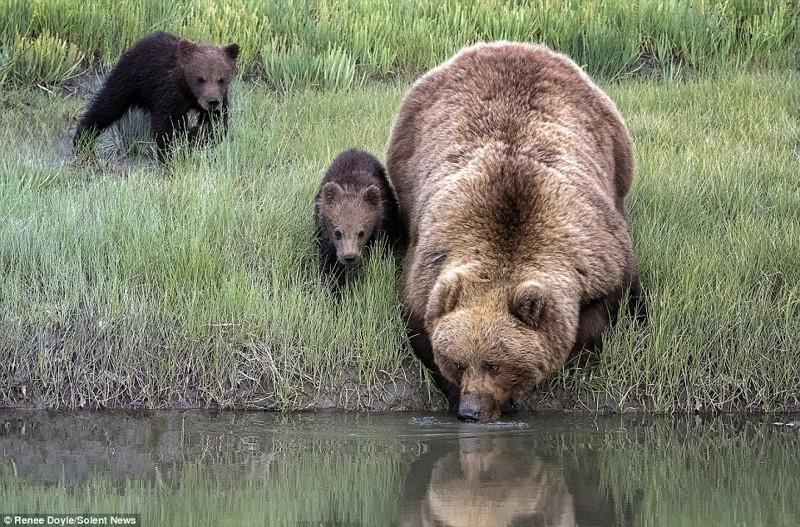 Заботливая мама: медведица перенесла через реку боящегося воды детеныша животные, медведь