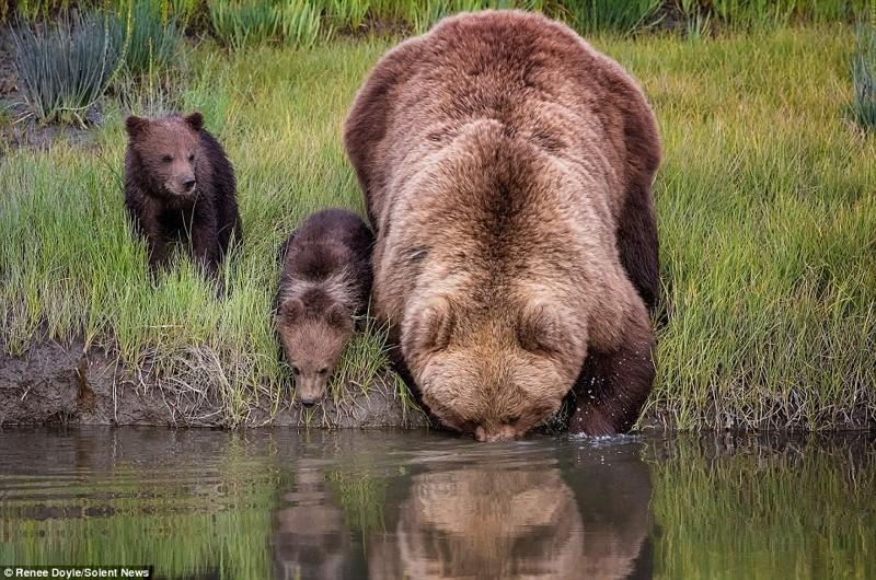Данные фотографии прекрасно передают незабываемую атмосферу нежности, заботы и любви между мамой и ее детьми животные, медведь