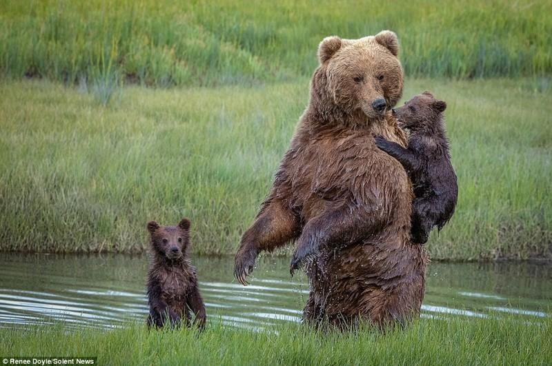 Второй малыш справился с переходом вполне самостоятельно животные, медведь