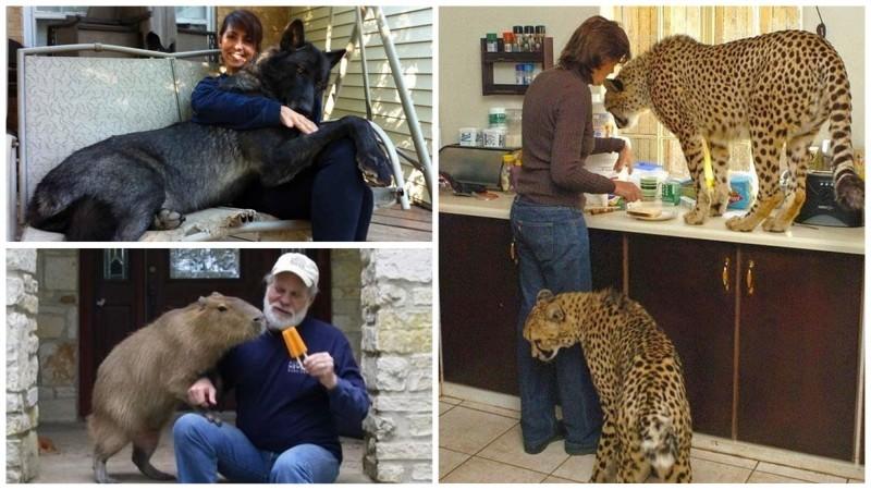 Когда обычных домашних животных становится уже мало домашние животные, необычные питомцы, питомцы, прикол