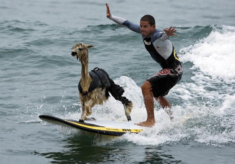 Инструкция как отлично проводить время со своей альпакой. домашние животные, необычные питомцы, питомцы, прикол