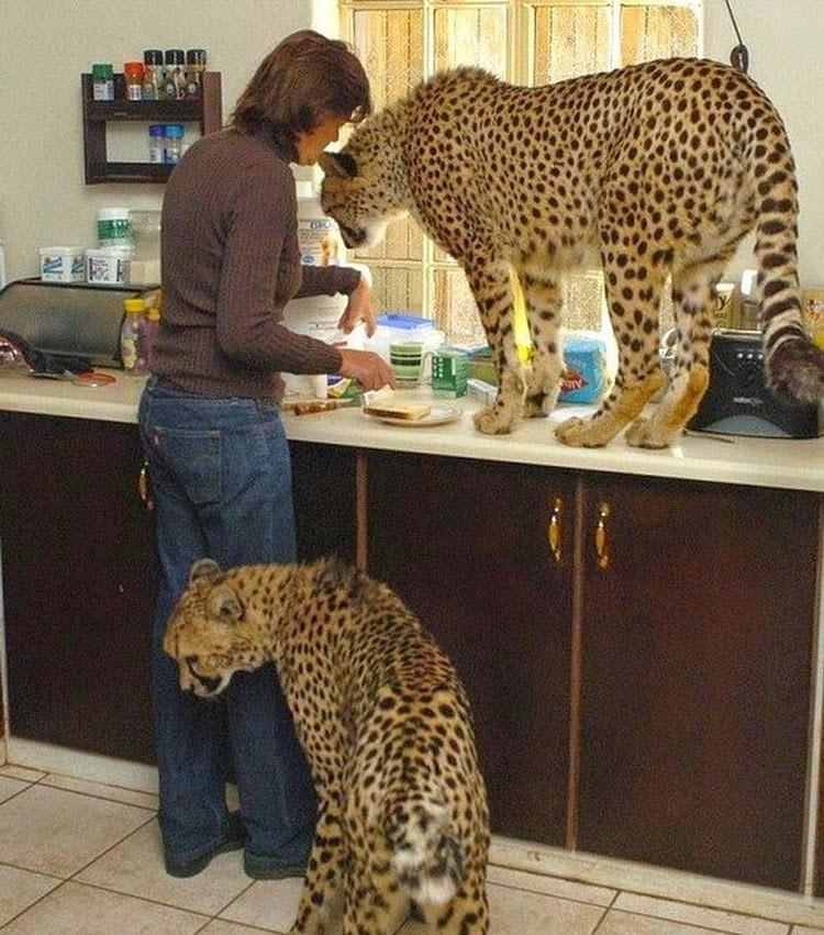 Кошки всегда остаются кошками не зависимо от размера. домашние животные, необычные питомцы, питомцы, прикол