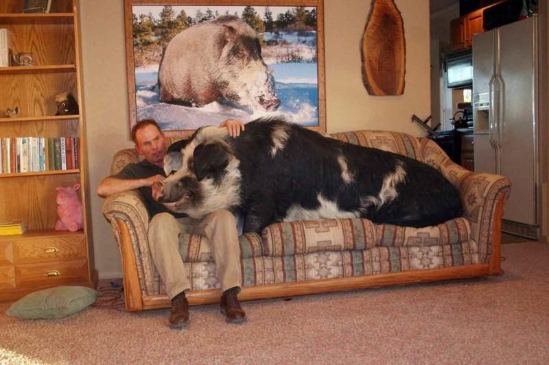 Для тех, кто не любит стройных… домашние животные, необычные питомцы, питомцы, прикол