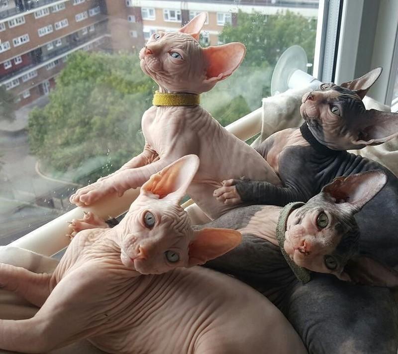 Группа котят пытается установить связь с кораблем инопланетяне, коты, котята, кошки, сфинксы