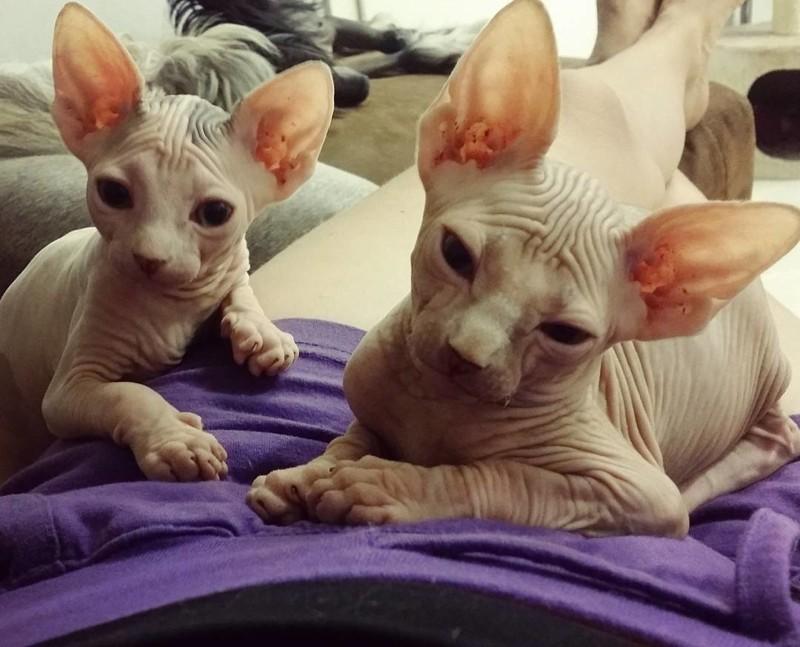 Голые кошки — тайные агенты космических цивилизаций инопланетяне, коты, котята, кошки, сфинксы