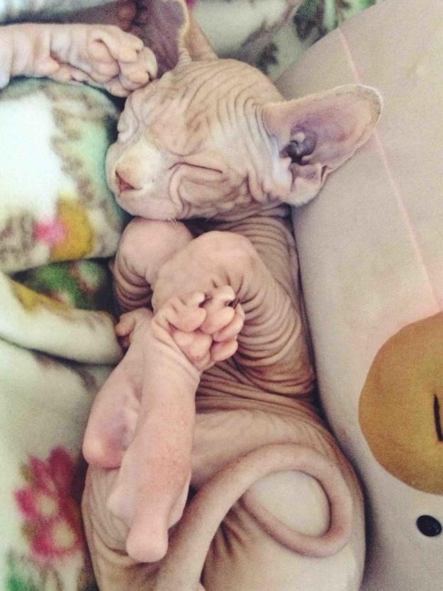 Обычно внимания удостаиваются котята в шерсти, но взгляните на этих сфинксов инопланетяне, коты, котята, кошки, сфинксы