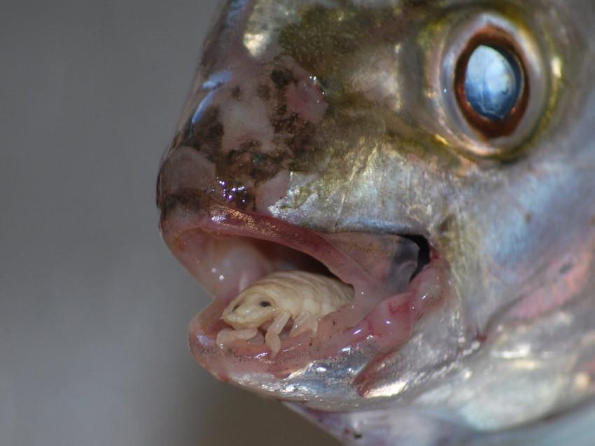 10. Мокрица, пожирающая язык. глубоководные рыбы, монстры, рыбы