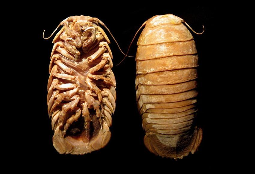9. Гигантская изопода. глубоководные рыбы, монстры, рыбы