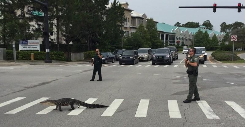 Полицейские останавливают движение, чтобы маленький щенок смог безопасно перейти дорогу. бездомные животные, прикол, флорида, юмор