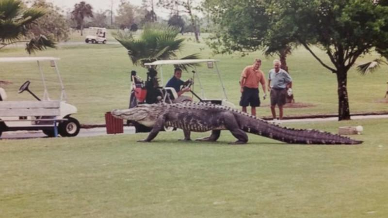 Иногда бродячие собаки забегают на территорию гольф-клубов. бездомные животные, прикол, флорида, юмор