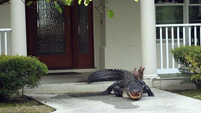 Вообще, бродячие собаки во Флориде обожают ходить по домам. Местные жители часто их подкармливают. бездомные животные, прикол, флорида, юмор