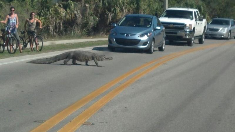 Иногда они выходят на дороги. Местные жители их не боятся, потому что давно привыкли. бездомные животные, прикол, флорида, юмор