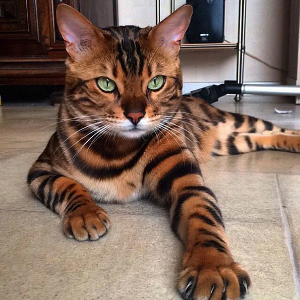 """""""Я чувствую себя его слугой"""", - признается Рани, хозяин Тора бенгал, животные, кот"""
