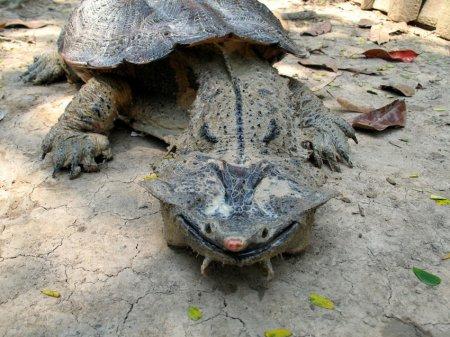 10. Бахромчатая черепаха. животные, необычные животные, природа
