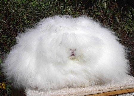 3. Ангорский кролик. животные, необычные животные, природа