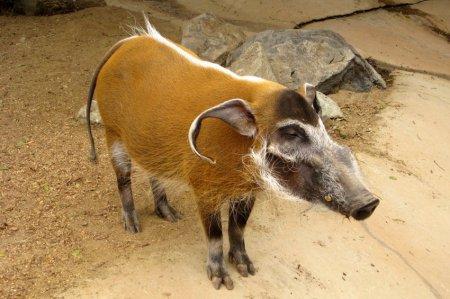 9. Кистеухая свинья. животные, необычные животные, природа