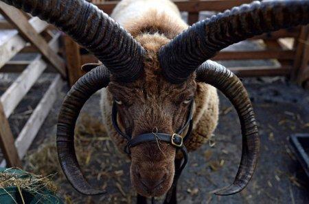6. Мэнский лохтан. животные, необычные животные, природа