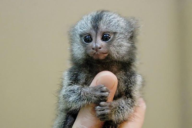 5. Самая маленькая обезьяна. животные, интересное, самые маленькие животные