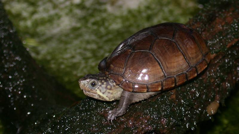 7. Самая маленькая черепаха. животные, интересное, самые маленькие животные