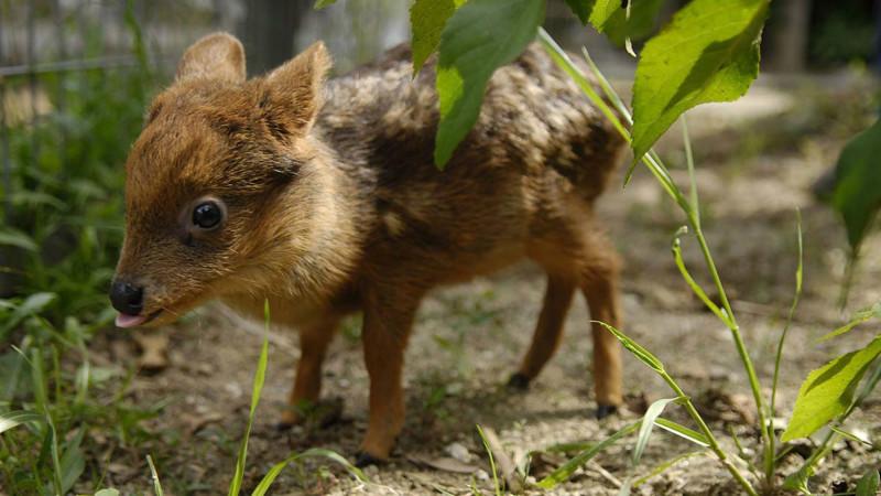 9. Самый маленький олень. животные, интересное, самые маленькие животные