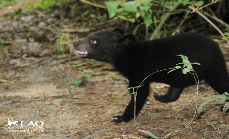 Спасенный медвежонок не может поверить, что обрел дом животные, защита природы, лаос, медведи