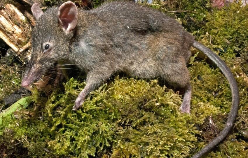 1. Paucidentomys vermidax. зоология, новые животные, открытия