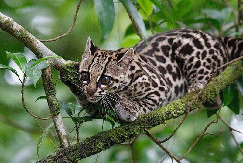2. Leopardus tigrinus guttulus. зоология, новые животные, открытия