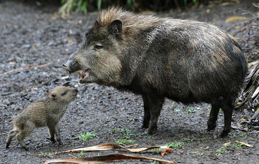4. Pecari maximus. зоология, новые животные, открытия