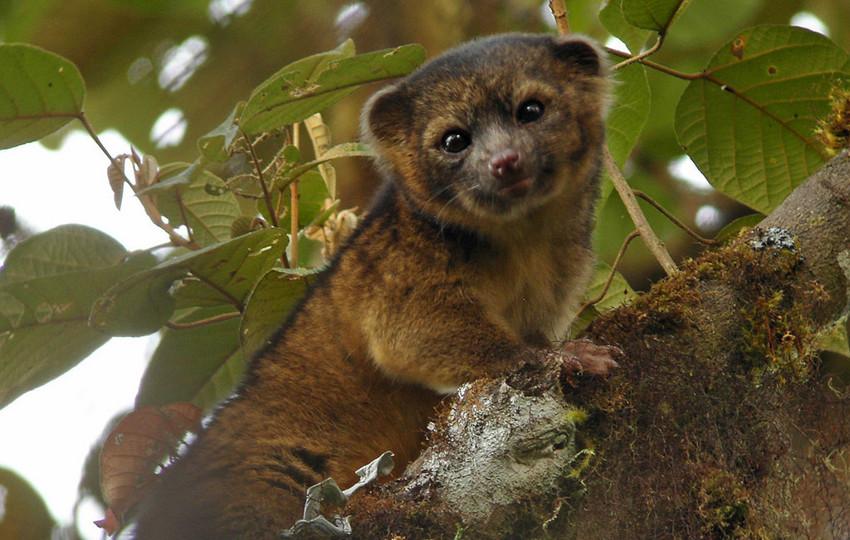 5. Bassaricyon neblina. зоология, новые животные, открытия
