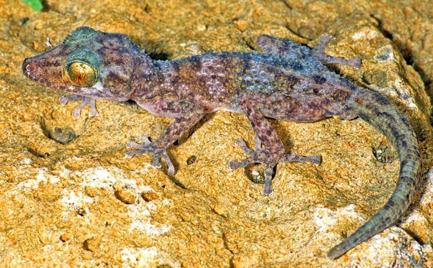 7. Paroedura hordiesi. зоология, новые животные, открытия