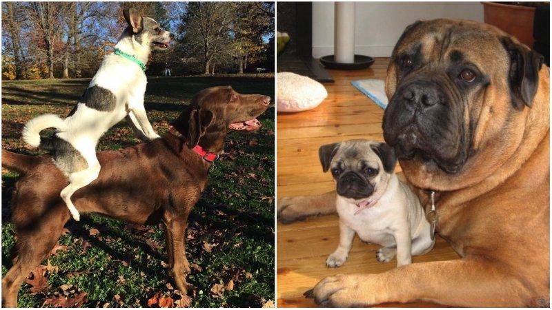 28 примеров потрясающей дружбы больших и маленьких собак животные, милота, собаки