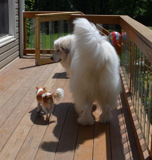 6. Эта маленькая задница, показывающая большой заднице, как на самом деле обстоят дела животные, милота, собаки