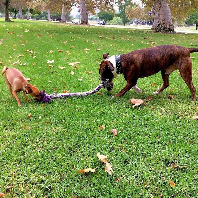 26. Эта большая собака, всегда уступающая своему другу в перетягивании каната животные, милота, собаки