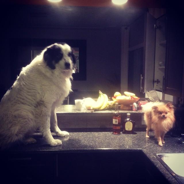 24. Эти двое, которые знают, что, большой ты или маленький, но стоять на разделочном столе всё равно НЕЛЬЗЯ животные, милота, собаки
