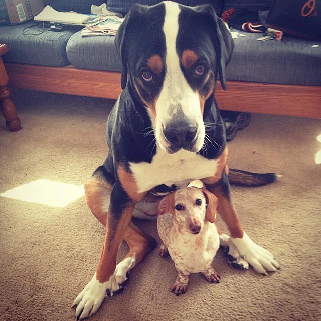 10. И этот маленький парень, которого НИКОГДА не поддразнивают - он под защитой своего большого друга животные, милота, собаки