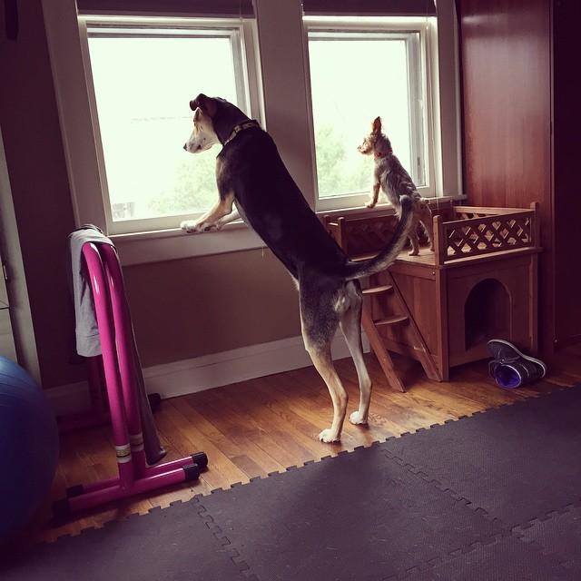 """22. Эти друзья, которые доказывают, что высота не имеет значения, когда наступает """"Время Лаять Из Окна"""" животные, милота, собаки"""