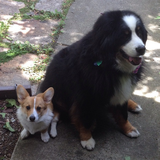 1. Эта маленькая собачка, которая всегда знает, на кого опереться - в прямом и переносном смысле животные, милота, собаки