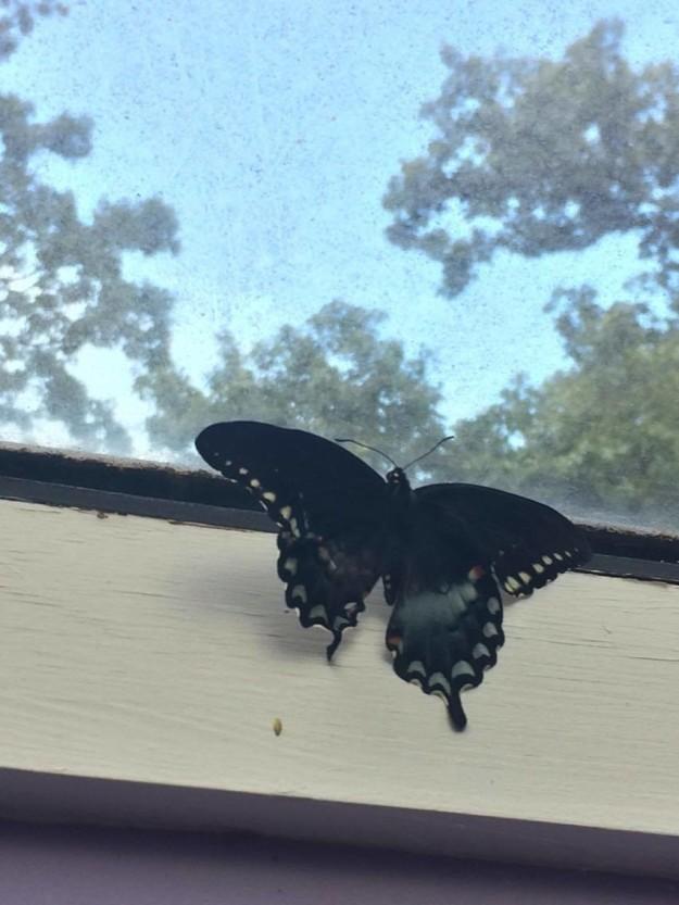 Его асимметричные крылья удивили его фанатов. бабочка, гусеница, животные