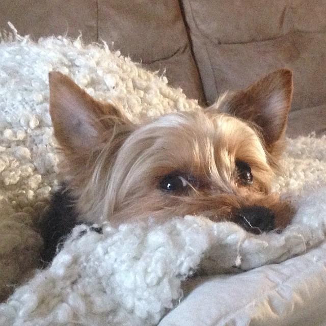 """4. """"То, что ТЫ вылез из кровати, не означает, что Я должен это сделать"""". животные, милота, собаки, юмор"""